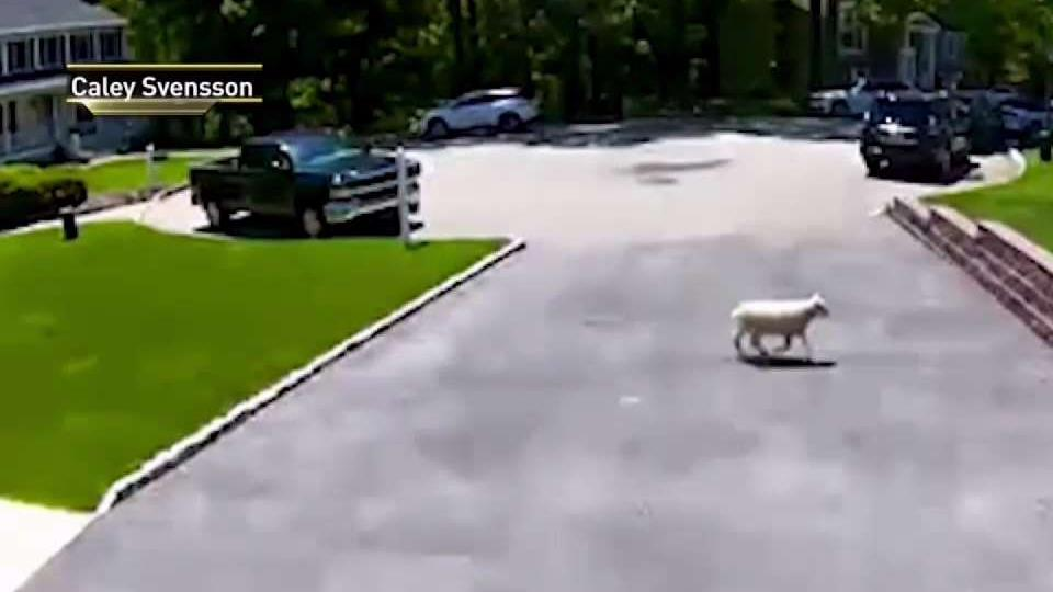 It's Baa-ck! Sheep on the lam captured in NJ