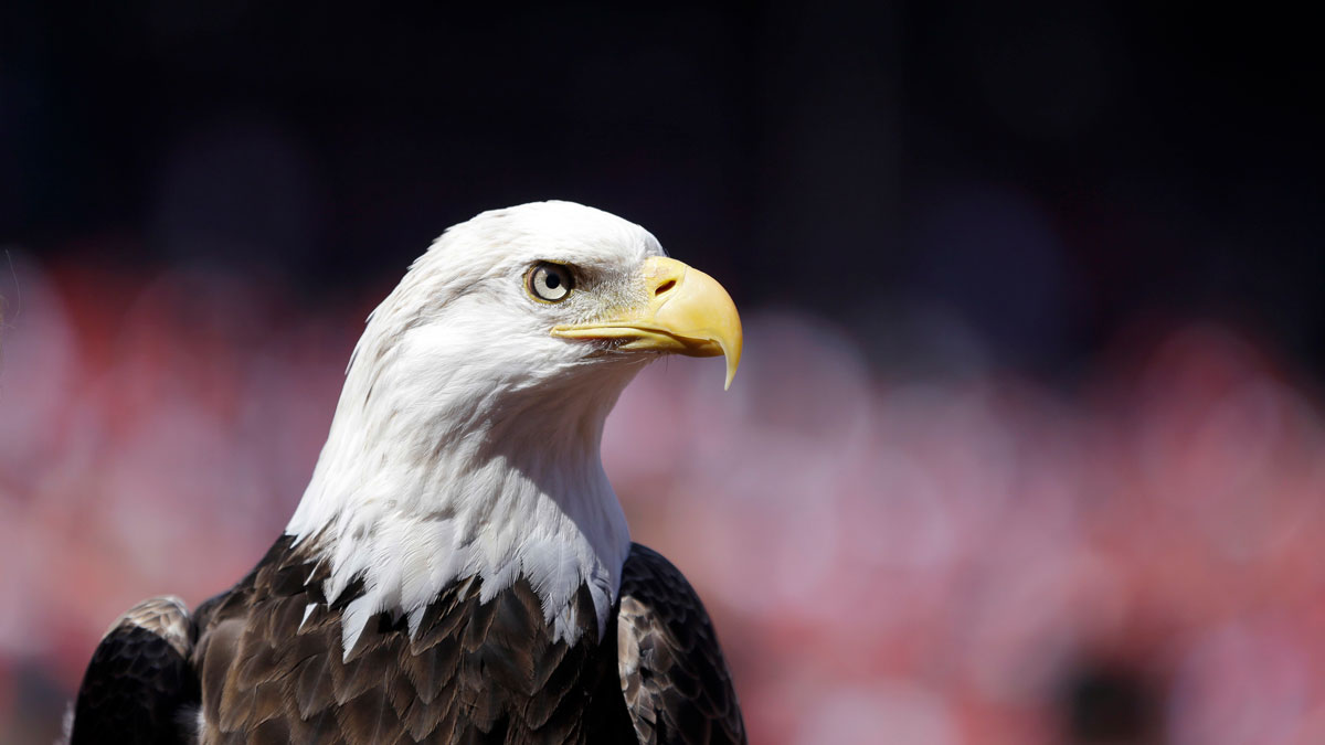File Photo — In this photo taken April 11, 2016, a bald eagle is seen before the start of a baseball game between the St. Louis Cardinals and the Milwaukee Brewers in St. Louis.
