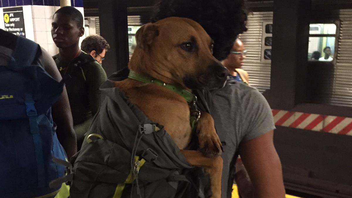Caught On Camera Dogs In Bags On Trains New York News